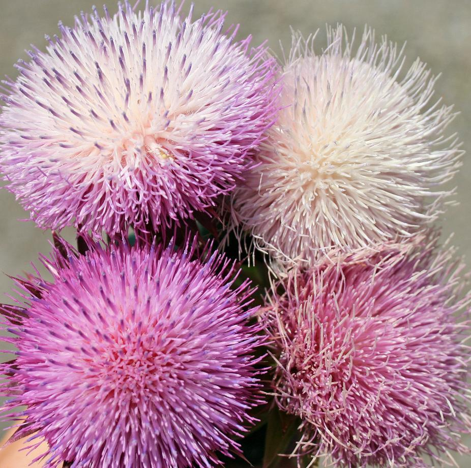 thistle, shades of pink