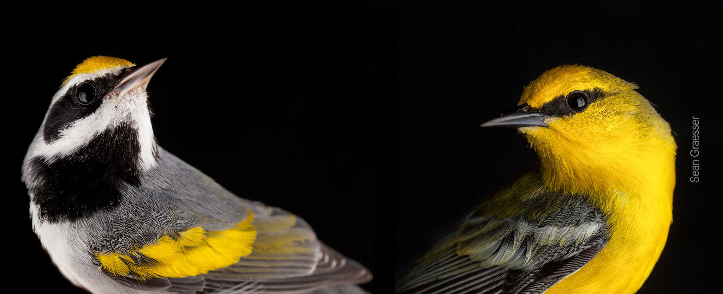 Golden winged and blue-winged warblers