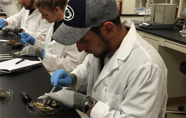 Student, Cory Lestochi, harvests oysters from their shell in order to isolate bacteria infected with phage.