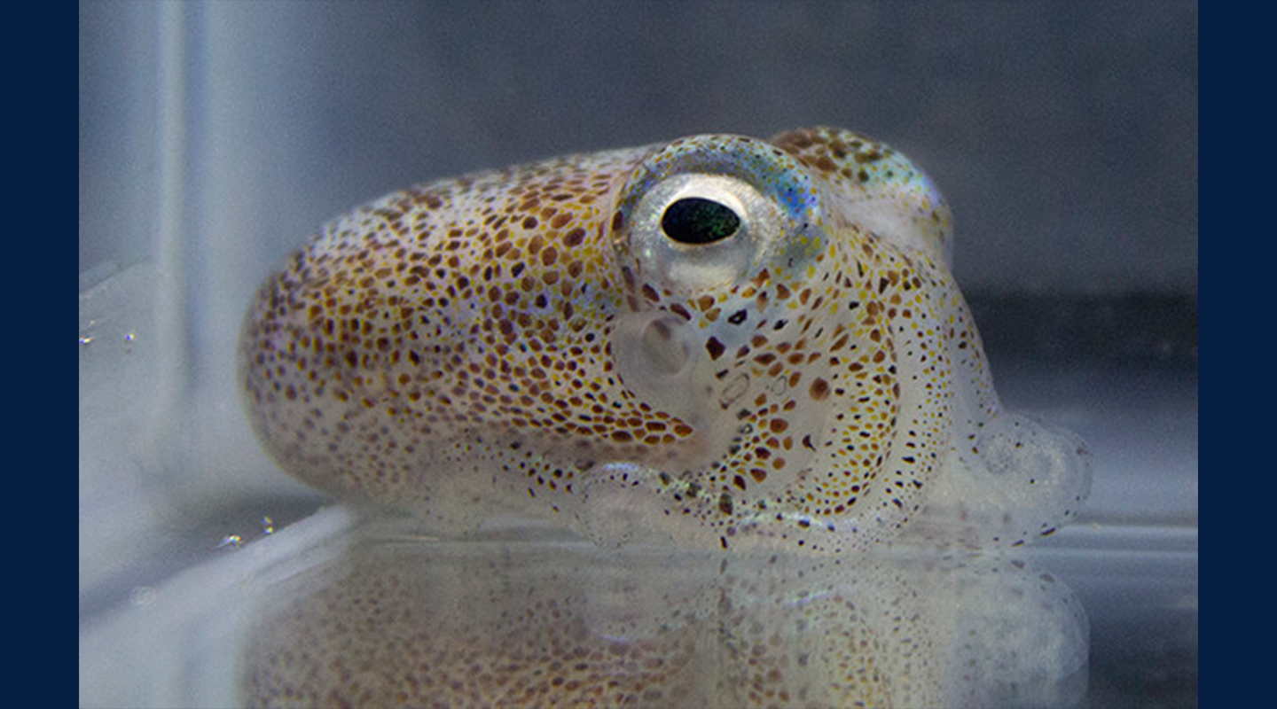 Genetic redundancy aids competition among bacteria in symbiosis with squid