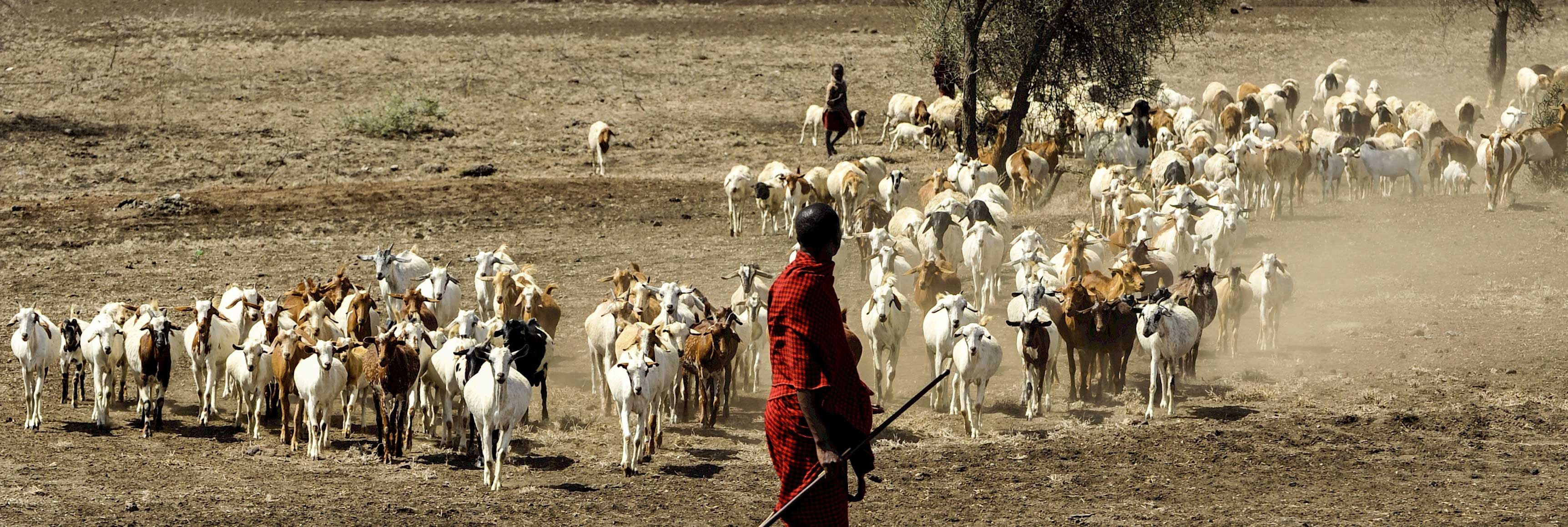 person herding goats in Africa