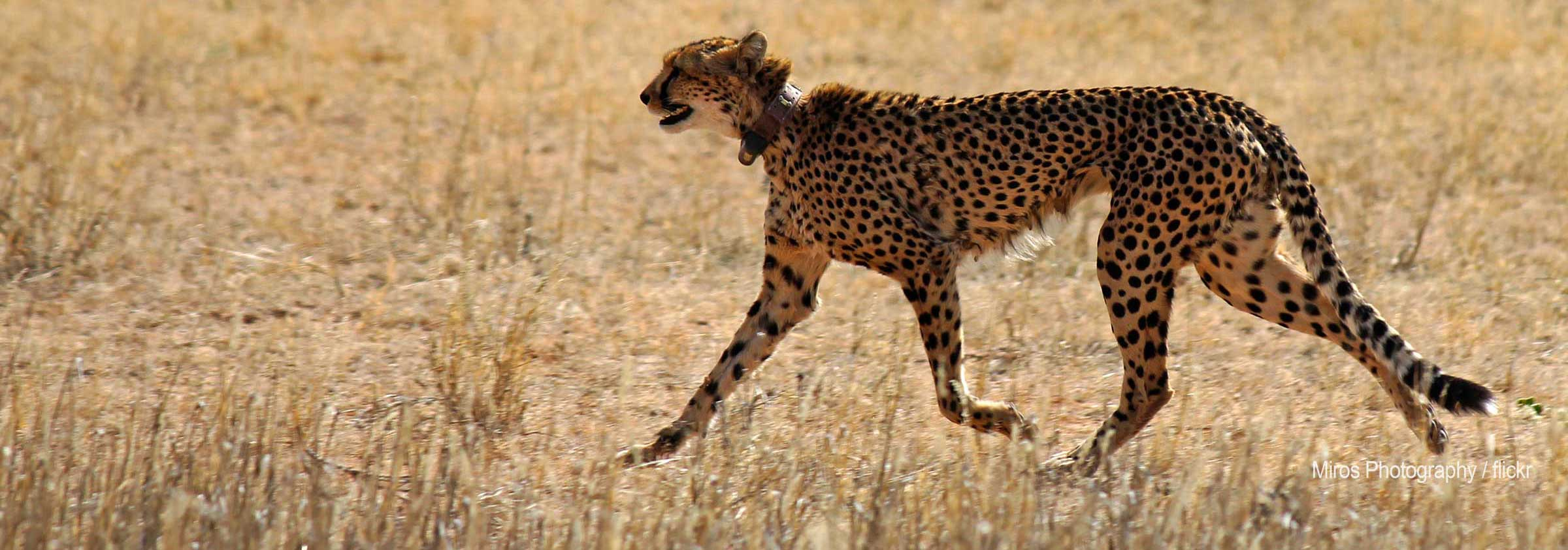 cheetah with GPS collar
