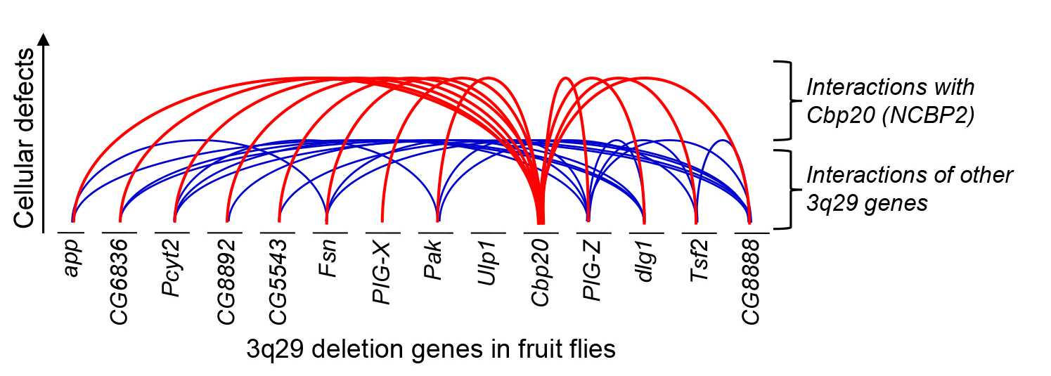 Illustration of interactions among genes in 3q29 deletion