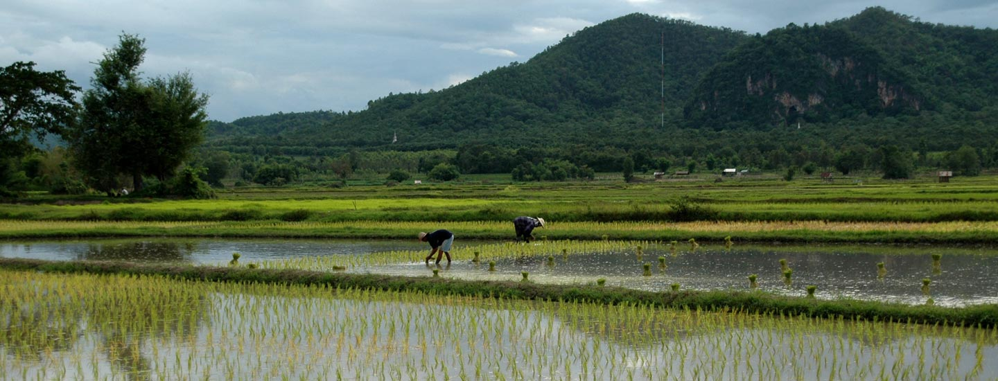 Image of farmers working in a rice paddy.