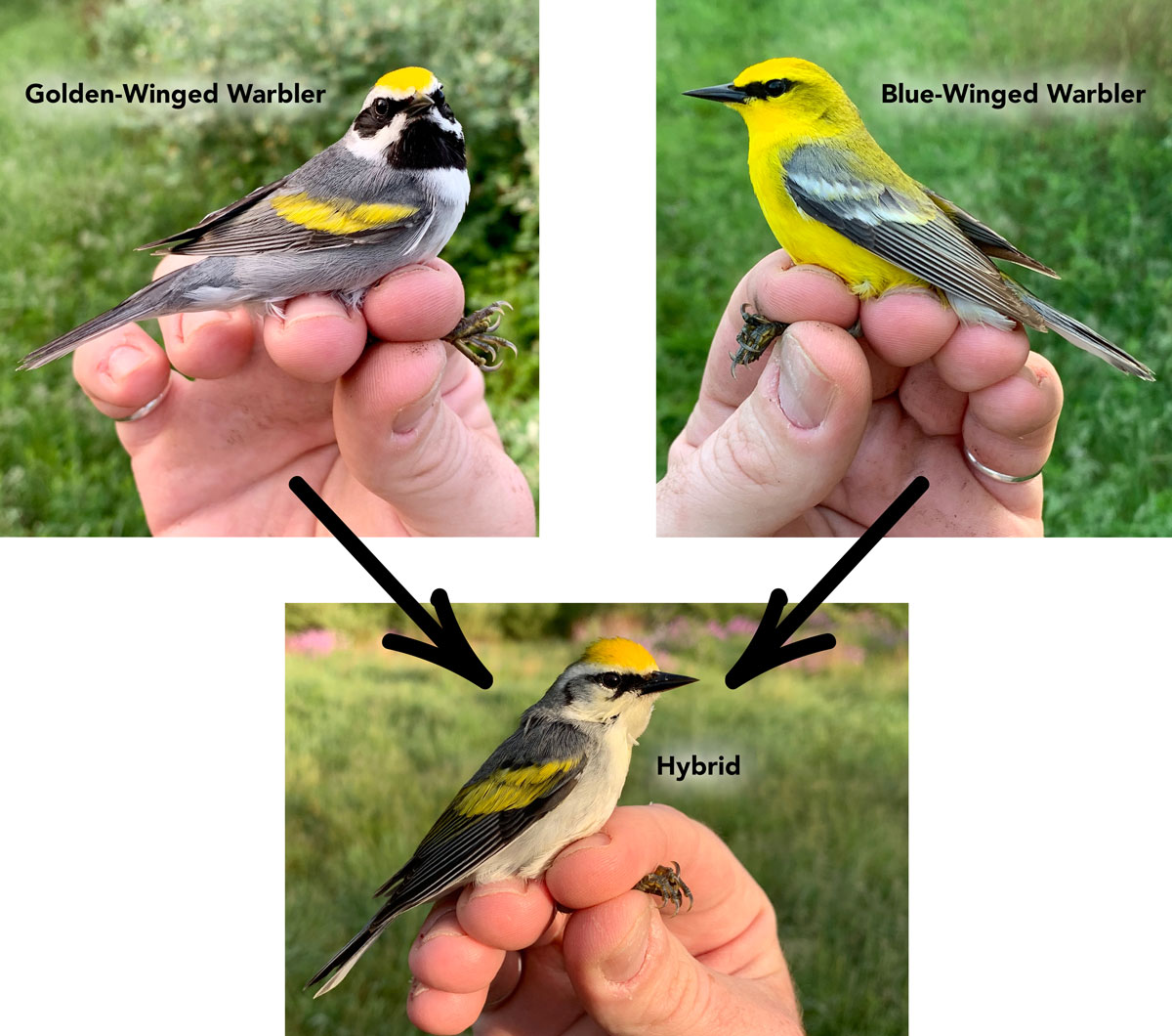 Golden winged and blue winged warblers and a hybrid