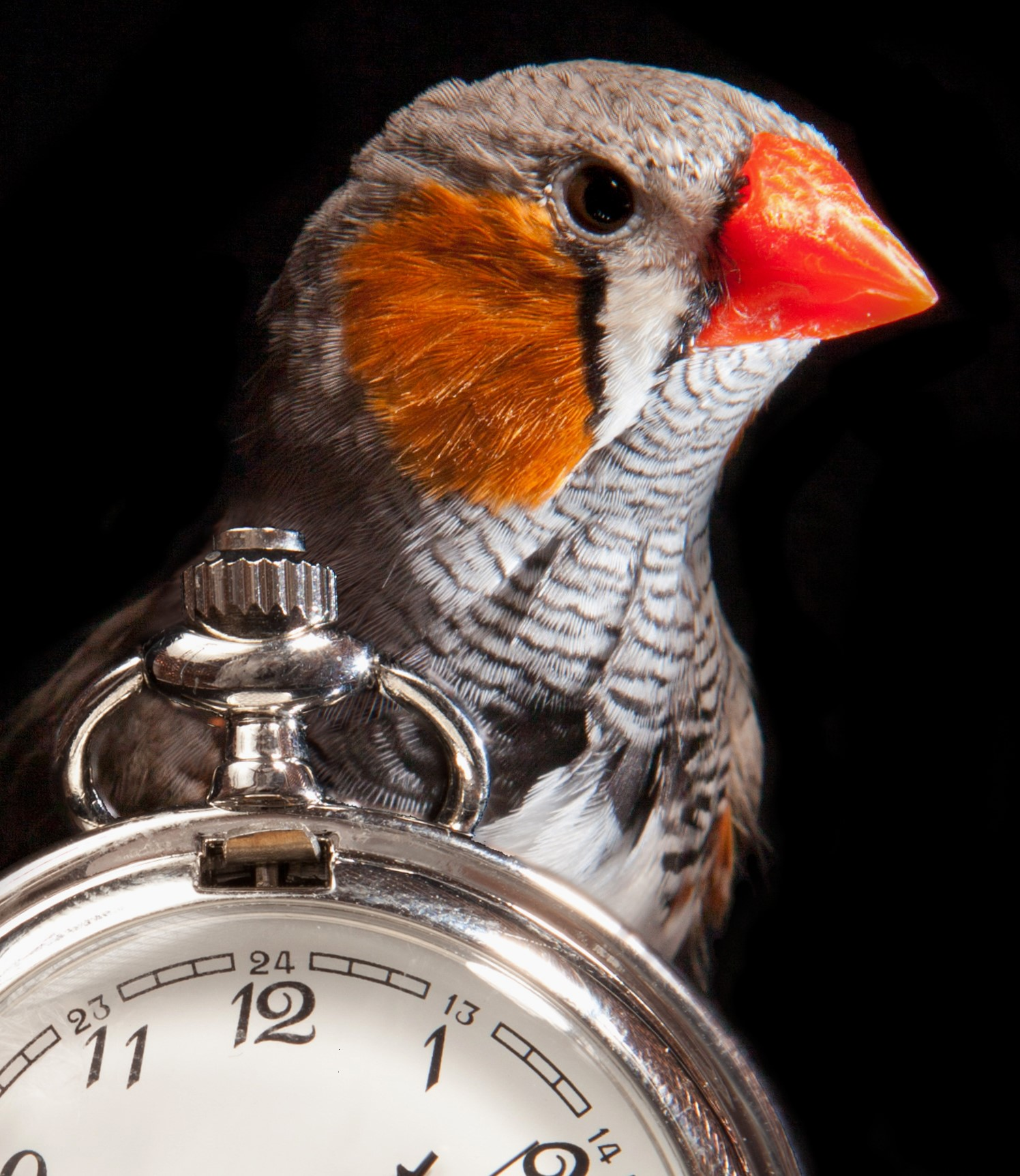 A finch stands over stopwatch