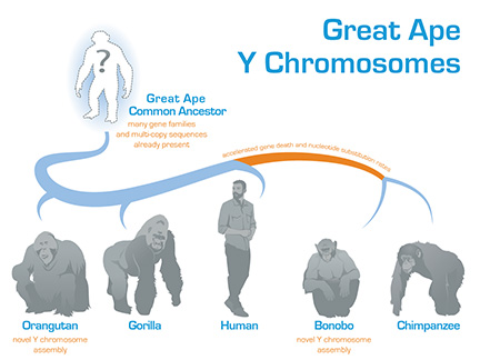 Tree showing great ape Y chromosome evolution