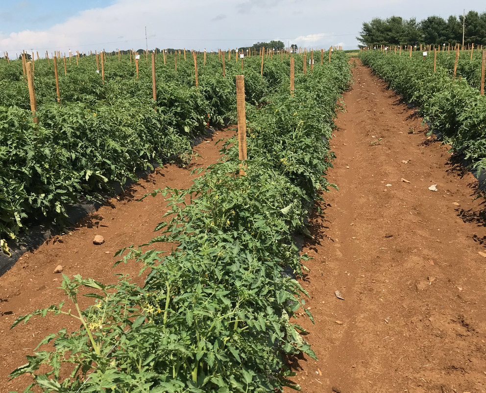 Rows of tomato plants