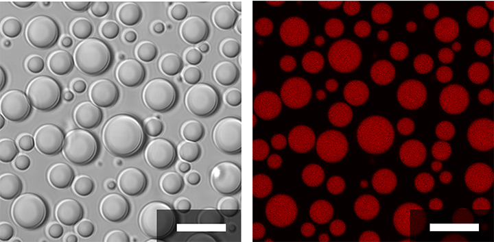 Membraneless compartments made from short polymers