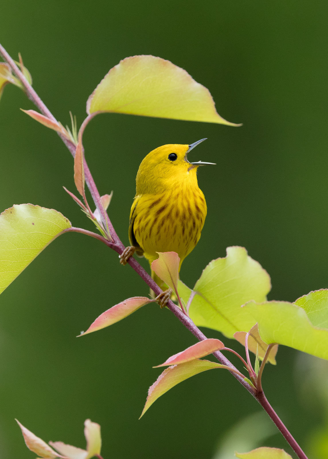 Yellow warbler singing on branch