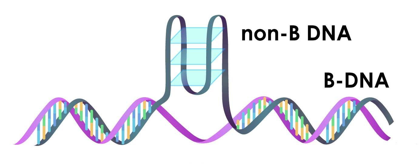 Illustration of one type of non-B DNA