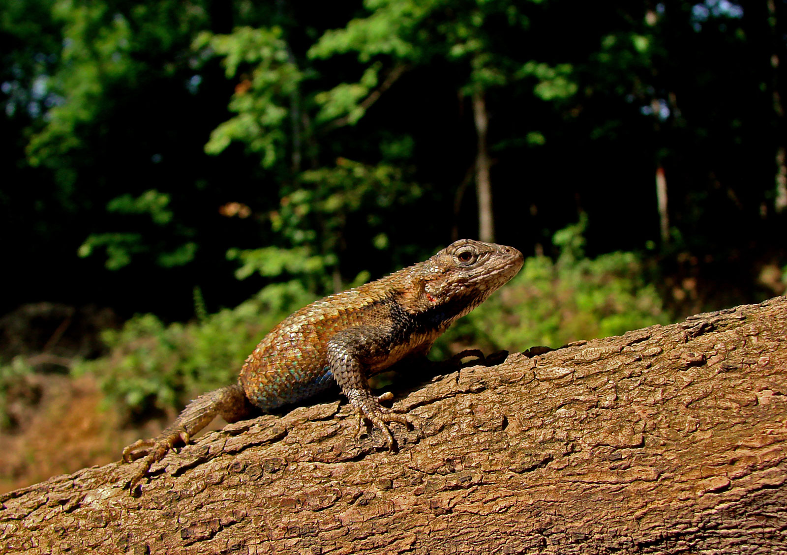 Lizards increasingly rely on camouflage to avoid predators as you move southward across their range, but the presence of invasive fire ants reverses this pattern. Credit: Langkilde Lab, Penn State