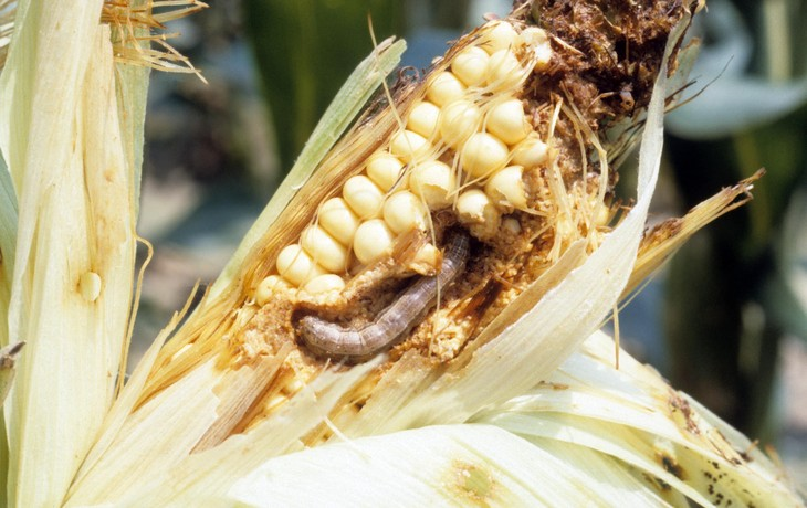 Fall armyworm larvae have caused an estimated $2.5 billion to $6.2 billion in damage annually to maize in sub-Saharan Africa since the pest arrived there in 2016. Image: John C. French Sr., Bugwood.org
