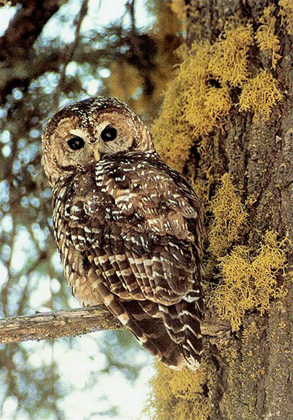 New research reveals that, contrary to current perceptions and forest management strategies, wildfires may be beneficial to populations of Spotted Owls, including those of the subspecies of California Spotted Owls pictured here. Image Credit: John S. Senser, U.S. Forest Service