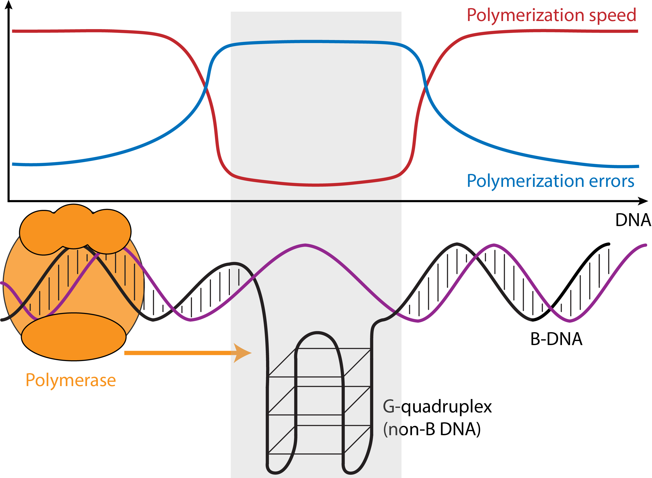 The speed and error rate of DNA Synthesis differs between regions of the genome that form the usual DNA structure (B DNA) and those regions that can form other structures (non-B DNA). Credit: Wilfried Guiblet, Penn State