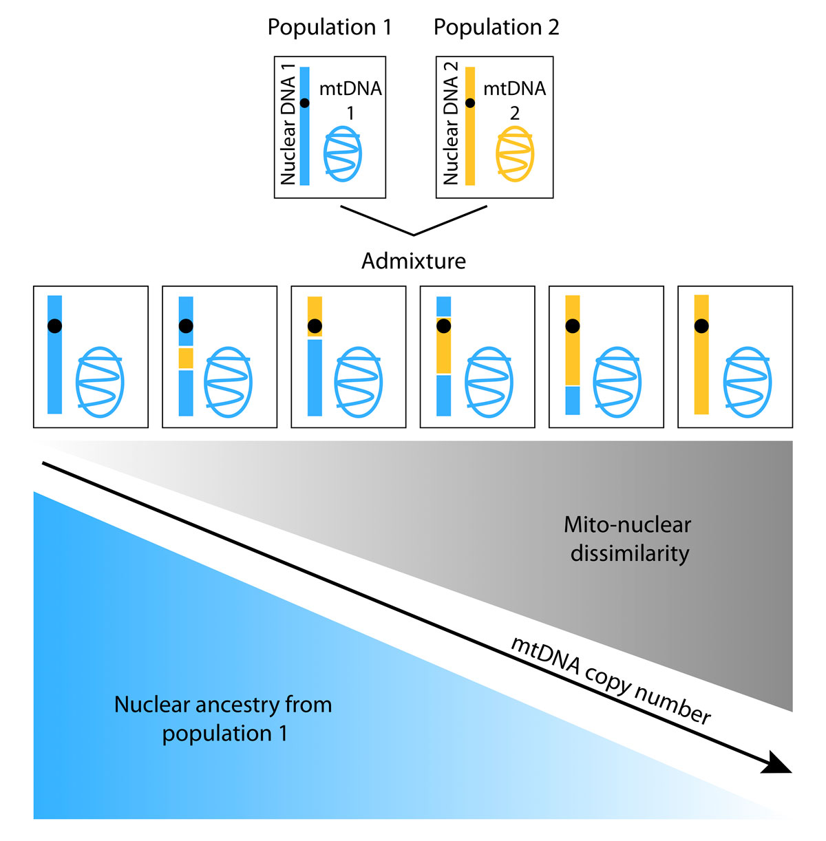 "Differences in geographic origin of a person's mitochondrial and nuclear genomes due to admixture can affect function of mitochondria, energy-generating organelles located inside cells that have their own separate genome. A new study reveals that mitochondrial DNA (mtDNA) copy number decreases with increasing ""mito-nuclear"" dissimilarity in geographic origins of the mitochondrial and nuclear genomes (e.g. as the proportion of nuclear DNA from population 1 decrease). Image credit: Arslan Zaidi."
