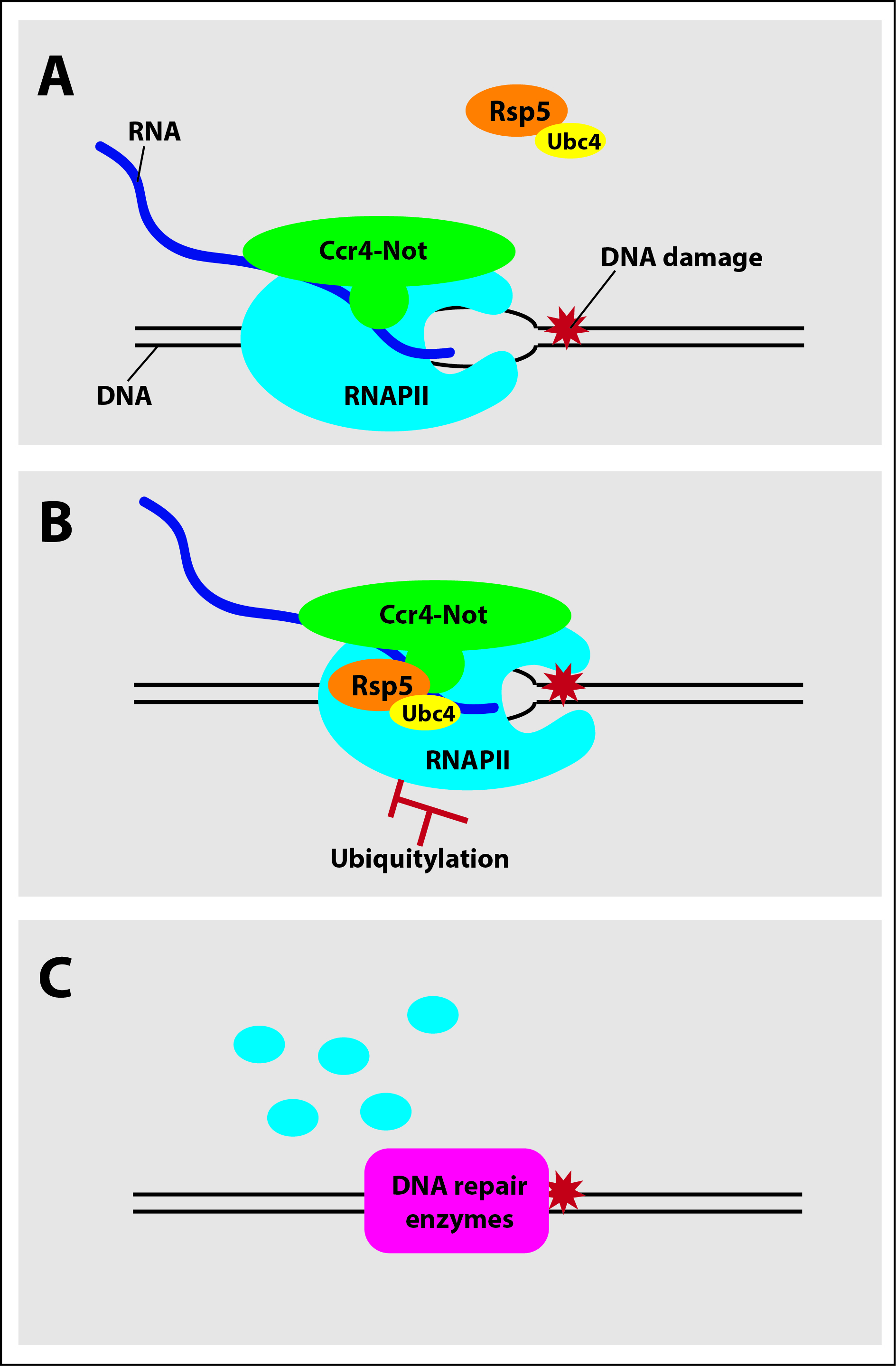 Ccr4-Not to the rescue. A) Ccr4-Not complex associates with RNA polymerase II (RNAPII) as it travels along a strand of DNA producing RNA. B) When RNAPII becomes stuck due to DNA damage, Ccr4-Not recruits factors that mark RNAPII with a small signaling molecule called ubiquitin. C) Ubiquitylation triggers degradation of RNAPII, allowing DNA repair enzymes to repair the damage and restore gene expression. Credit: Reese Laboratory, Penn State.
