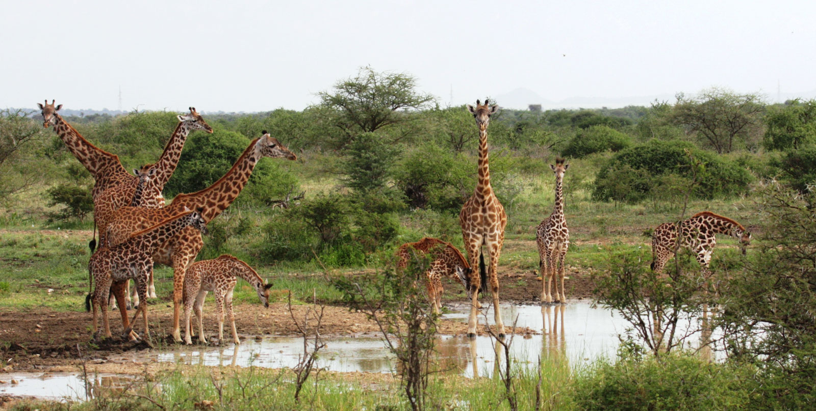Giraffes at watering hole