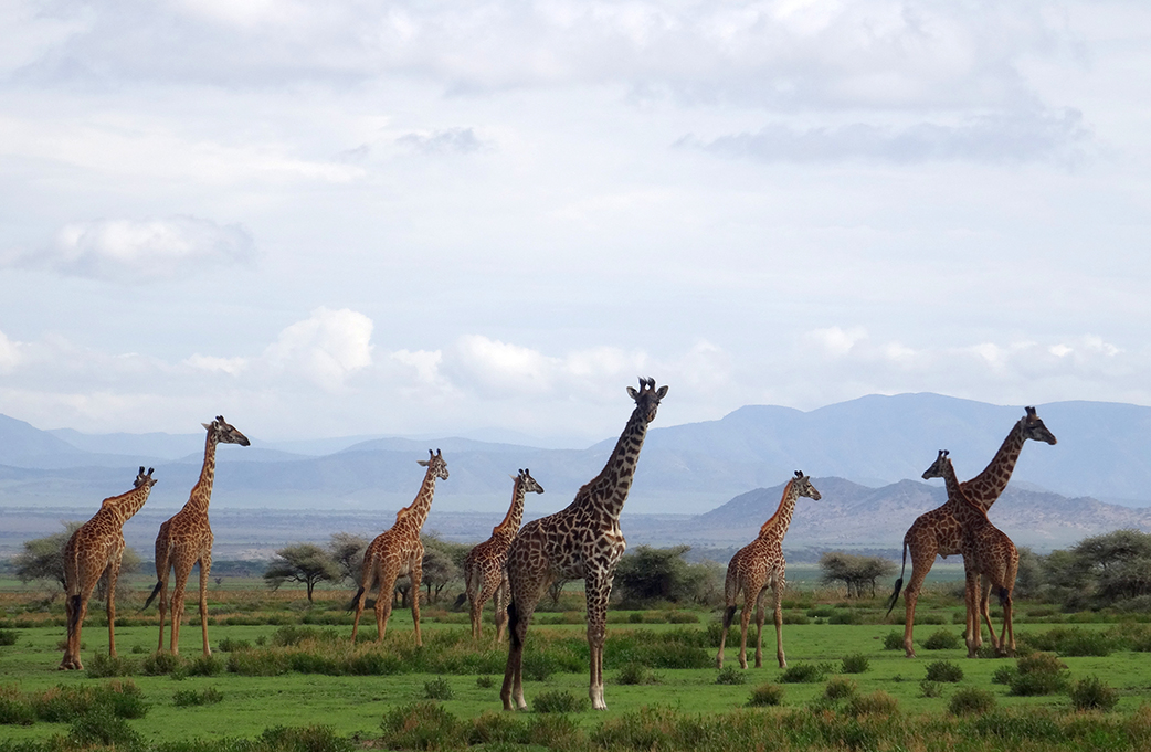 Group of giraffes in Tanzania