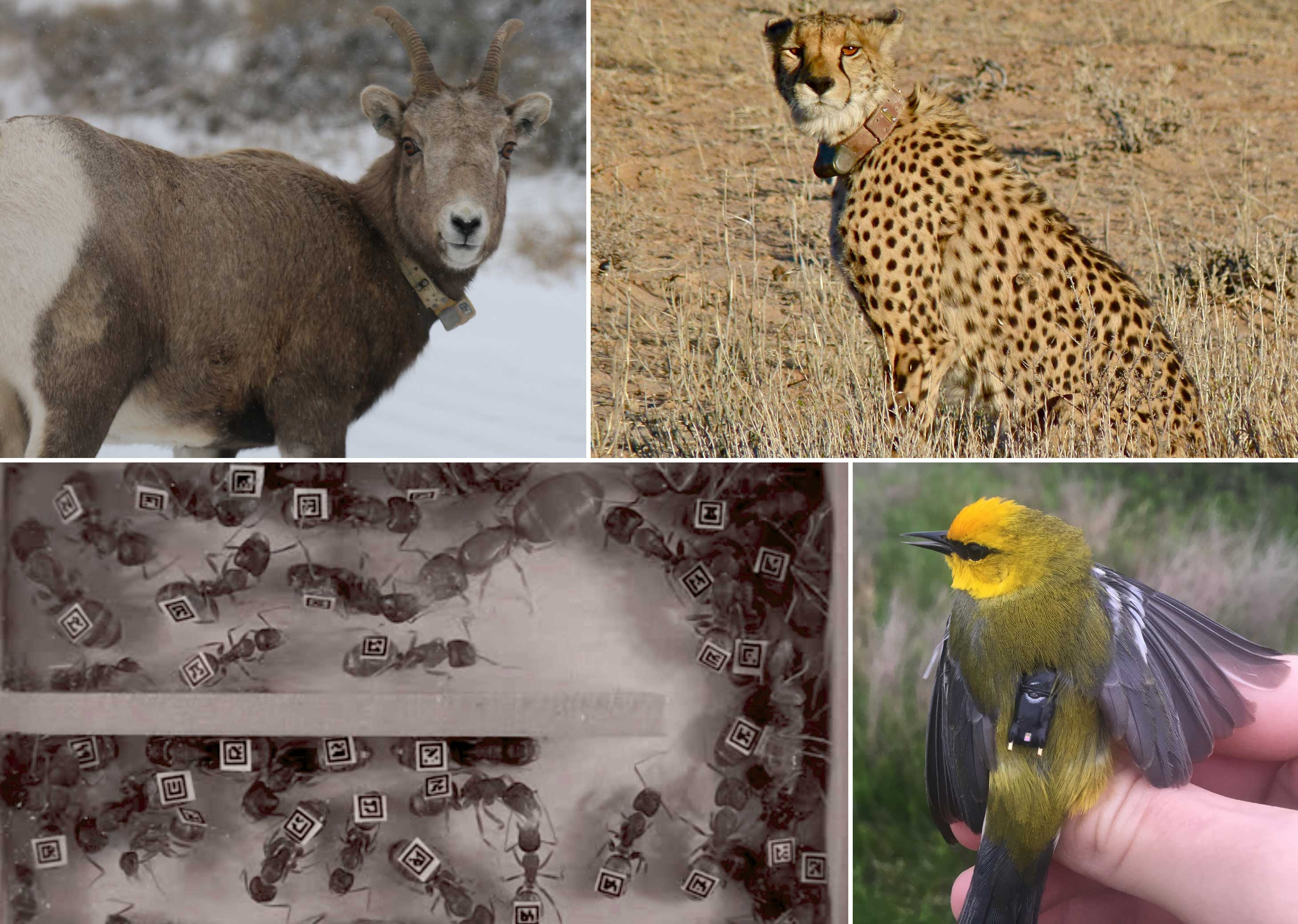 collage of 4 animals wearing tracking devices