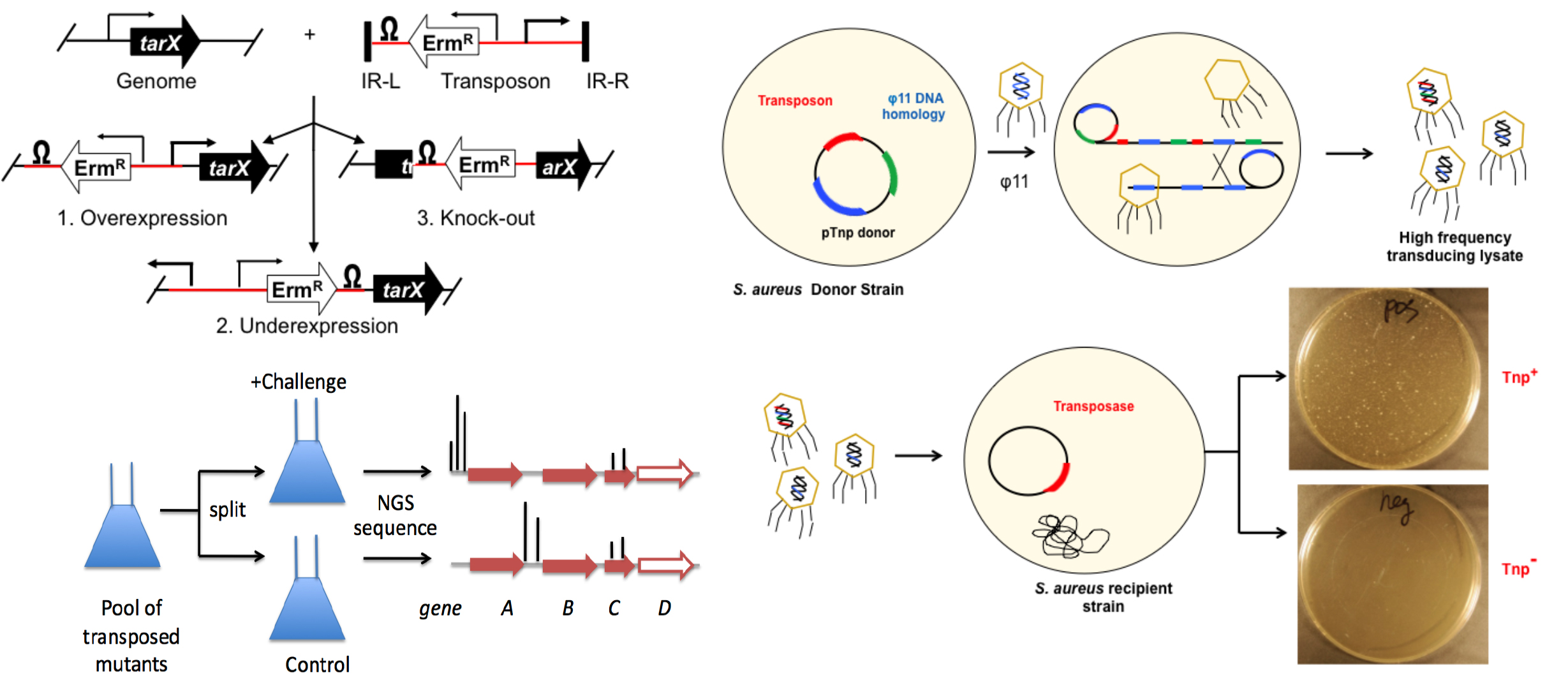 Functional genomics in Staphylococcus aureus