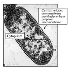 Cell envelope and cytoplasm