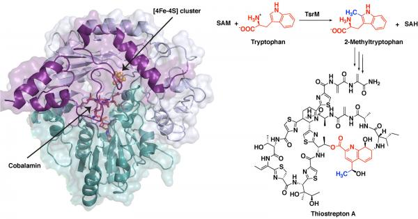 TsrM crystal structure and reaction steps