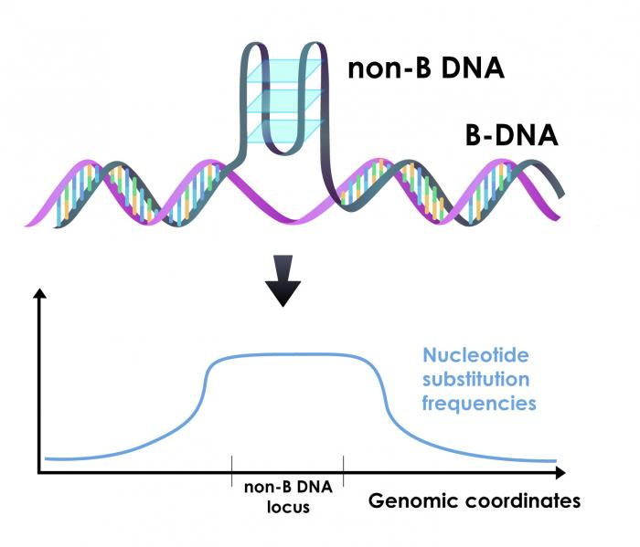 Illustration of non-B DNA with graph showing increased mutation rate